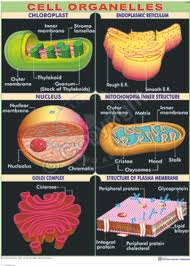 Cell Organelle Chart Cell Organelles Chart