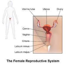 Female Body Reproductive System Anatomy Of External Female Genitalia  External Female Reproductive     Medical Terms