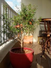 Inumeras pragas atacam a laranjeira a saber: Fruta No Pe Primavera Garden Center