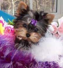 dodge city ks yorkie puppies for free adoption