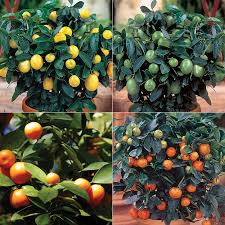 Quartet Citrus Tree Collection From Stark Brou0027s  Fruit Trees Medley Fruit Tree