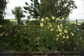 rabbit resistant yellow columbine grows through the metal mesh