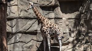 Lincoln Park Zoo Dispels Rumors of <b>Animals</b> Set Free or Stolen ...