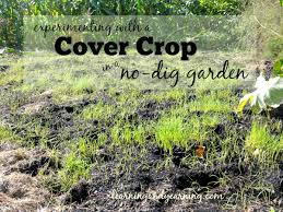 garden cover crop. In A Garden Building Healthy Soil Is Vital. It\u0027s Recommended That Cover Crops Be Dug Crop S