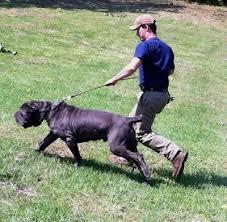 Neapolitan Mastiff Size Chart Neapolitan Mastiff Dog Breed Information And Pictures