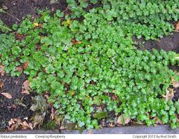 green ground cover no flowers 153986