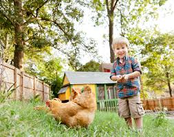 top 10 questions and answers about backyard chickens countryside backyard chickens