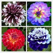 50 <b>Pcs</b>/<b>Bag Dahlia Flower Dahlia</b> Seeds Charming Bonsai <b>Flower</b> ...