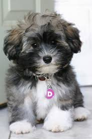 Small Picture Havanese Dog Breed Information Havanese puppies Dog and Animal