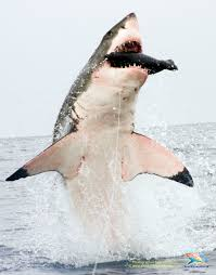 great white shark jumping for seal. Beautiful Seal Like Most Apex Predators That Prowl The Ocean Depths Great White Shark  Usually Employs Its Hunting Prowess Below Waves Well Concealed From Human  With Great White Shark Jumping For Seal