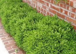 Image result for boxwood shrubs
