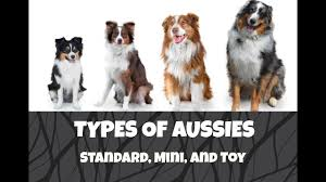 Differences Between Standard Mini And Toy Australian Shepherds Life With Aspen
