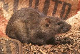 """Résultat de recherche d'images pour """"rat  noir et blanc"""""""