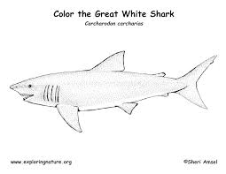 Small Picture Shark Great White Coloring Page