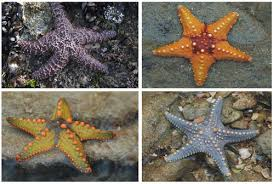 Types Of Echinoderms Read Biology Ck 12 Foundation