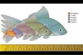 Fantail Goldfish Growth Chart Fancy Goldfish Growth Chart Goldfish Aquarium Goldfish