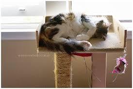 medium hair cat napping on cat tree stand sydney nsw pet photographer
