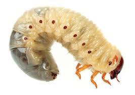 Image result for maggots