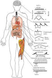Биоритмы человека Биоритмы и их биологическое значение для организма