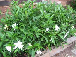 Small Picture Garden Design Garden Design with Gardenia Bush with Home