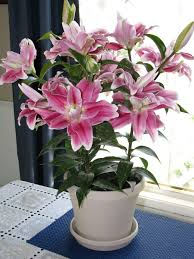 how to grow lilies indoors