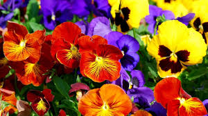 Image result for pansy flower