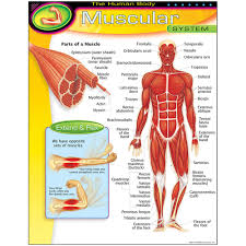 Body Chart The Human Body Muscular System Learning Chart