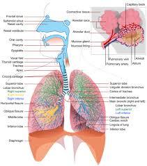 The Respiratory System Respiratory System Anatomy Human