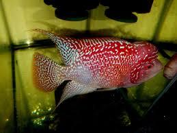 Aquarium Design For Flowerhorn Gb Flowerhorn Cichlid Male At 5 5 Inches Hq Show Cichlids