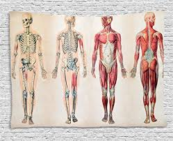 Ambesonne Human Anatomy Tapestry Vintage Chart Of Body Front Back Skeleton And Muscle System Bone Mass Graphic Wall Hanging For Bedroom Living Room