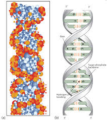 19 2 Nucleic Acid Structure Chemistry Libretexts
