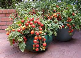 a container overflowing with tomatoes with container gardening