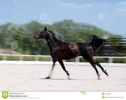 black horses running in a field. Contemporary Running Download Black Horse Running At Field In Summer Motion Blur Background  Nightcrow Intended Horses A N