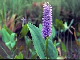 Pontederia cordata (Pickerelweed) | Native Plants of North America