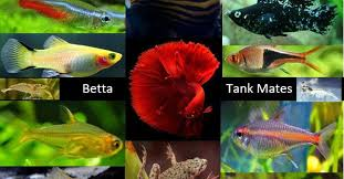 Betta Fish Chart 15 Best Betta Fish Tank Mates A Complete Guide