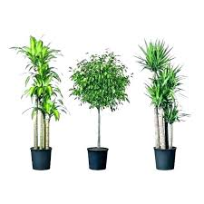 tall indoor plants best large low light house trees nyc tal