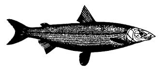Coregonus oxyrinchus