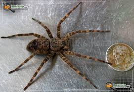 Fishing Spider Insect Identification