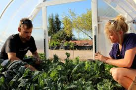 farmers at the tucson village farm get their hands dirty and pick fresh organic lettuce