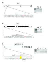 Crispr Cas9 Guide Rna Design Design Of Grnas Of Gene Editing Crispr Cas9 Constructs For