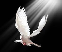 黒の背景上に分離されて無料飛ぶ白い鳩 の写真素材・画像素材 Image 12568496.