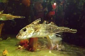 Цельноголовые рыбы слитночерепные holocephali фото морда  Американский гидролаг hydrolagus colliei фото фотография химеры