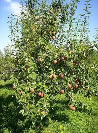 Moonglow Pear Pollination Chart How To Plant Grow Prune And Harvest Pears