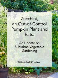 zucchini an out of control pumpkin plant and rats an update on suburban vegetable gardening the lady diy