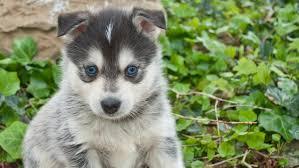 Pomsky Dog Breed