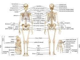 human skeletal system parts functions diagram facts  skeletal system human