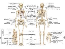 human skeletal system parts functions diagram facts  skeletal system human