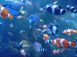 black and orange clown fish. Contemporary Clown Orange U0026 Black Clown Fish In SALTWATER Aquarium In And YouTube