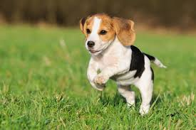 beagle dog breed low maintenance um dogs