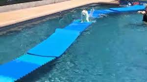 pool floats for dogs. Modren Floats Miniature Eskimo Dog Nicky Jumps Off Dock Onto Swimming Pool Floats For Dog  Toy Squeaky  YouTube Inside Pool Floats For Dogs T